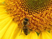 Bee and sunflower 2. Bee is collecting nectar royalty free stock photo