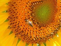 Bee at sunflower Stock Photo
