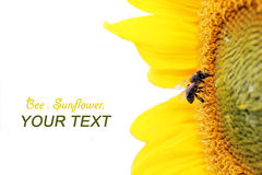 Bee on sunflower. And isolated on white background Royalty Free Stock Image
