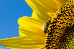 Bee on sunflower. A bee sitting on a sunflower in a sunflower field Royalty Free Stock Photography