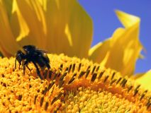 Bee on Sunflower Royalty Free Stock Photography