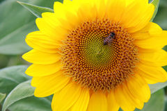 Bee on sunflower. A little bee on sunflower stock images