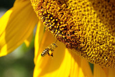 Bee and Sunflower stock image