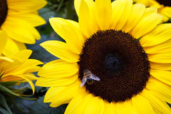 Bee in Sunflower Stock Photography