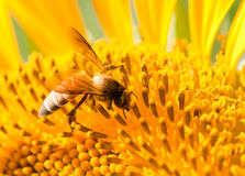 Bee on sunflower Stock Image