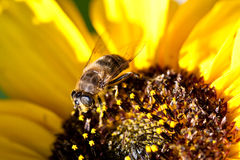 Bee on sunflower. Bee at center of sunflower Stock Photos