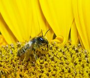 Bee in sunflower. Close up image of bee in sunflower Royalty Free Stock Photos
