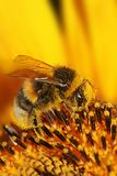 Bee on sunflower Stock Photography
