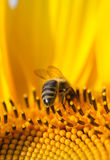 Bee on a sunflower. Close-up showing a hard working bee inside a sunflower Royalty Free Stock Image