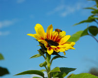 Bee and sunflower. Bee above sunflower Stock Photography