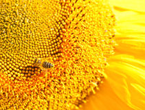 Bee on sunflower. Working bee on yellow sunflower Royalty Free Stock Photography