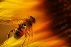 Bee on sunflower. Closeup of a honey bee resting on a sunflower royalty free stock images