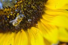 Bee On Sunflower Royalty Free Stock Photos