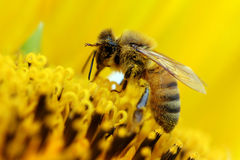 Bee and sunflower. Macro of a bee on a sunflower Royalty Free Stock Images