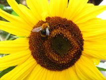 bee-on-sunflower Royalty Free Stock Photo
