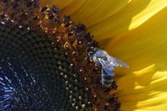 Bee on Sunflower. A bee is admiring this sunflower stock photo