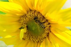 Bee on a sunflower Stock Photo