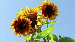 Bee in a Sunflower stock footage