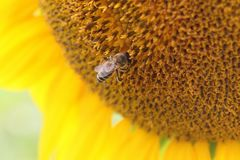 Bee in sunflower. Closeup photo Royalty Free Stock Images