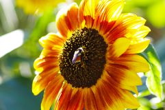 Bee on sunflower. In garden Royalty Free Stock Images