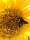 Bee on a sunflower. A black bee collecting pollen from a sunflower Royalty Free Stock Image