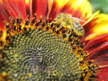 Bee in sunflower bloom. Bee picking pollen from sunflower bloom, Lithuania Royalty Free Stock Image