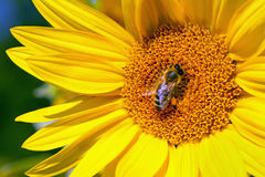 Bee and sunflower blossom Royalty Free Stock Photography