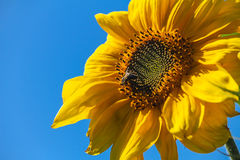 A bee on a sunflower Stock Image