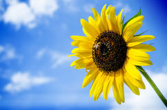 Bee and sunflower on a blue sky background Royalty Free Stock Images
