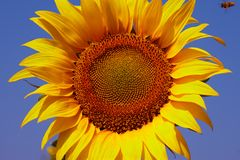 Bee and Sunflower with blue sky. Flying Bee and Golden Sunflower with blue sky Royalty Free Stock Image