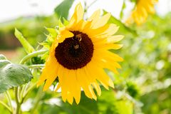 Bee on a sunflower in the bright sunlight stock images