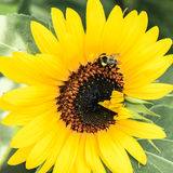 Bee on Sunflower. A bumble bee lands on a yellow sunflower Stock Image