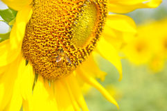 Bee on a sunflower. Close-up of bee on a sunflower Royalty Free Stock Photography