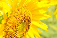 Bee on a sunflower. Close-up of bee on a sunflower Royalty Free Stock Photos