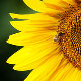 Bee on sunflower Stock Photos