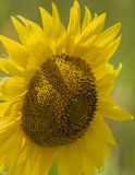 Bee on sunflower. Close up of bee on sunflower Royalty Free Stock Photography