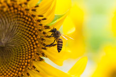 Bee on sunflower. Close up bee on sunflower Royalty Free Stock Photography