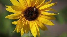 Bee on the sunflower stock footage