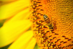 Bee & Sunflower Stock Image