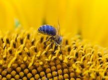 Bee on sunflower close-up Stock Photos