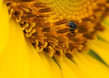 Bee On Sunflower. Close Up Of Bee Collecting Nectar On Sunflower Royalty Free Stock Image