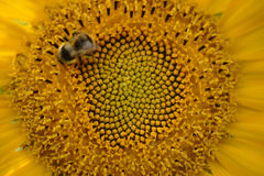 Bee in sunflower. The close-up of a bee collecting nectar on the seeds in the bloom of a sunflower Royalty Free Stock Photos