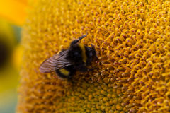 Bee on Sunflower - Close Up Royalty Free Stock Images
