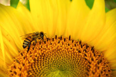 Bee & Sunflower Stock Photo