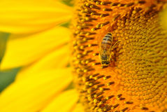 Bee & Sunflower Royalty Free Stock Photography