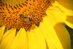 Bee & Sunflower Royalty Free Stock Images