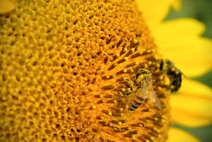 Bee & Sunflower Royalty Free Stock Image