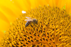 Bee on sunflower. Close-up of a honey bee pollinating a sunflower royalty free stock photos