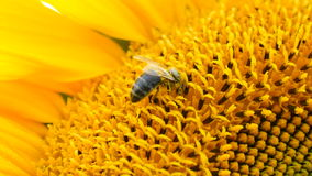 Bee on sunflower close-up stock footage