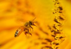 Bee on a sunflower. Close up shot of Bee on a sunflower Stock Image